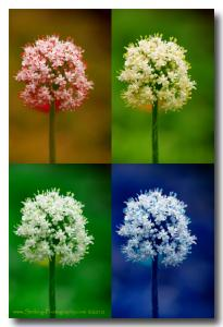Onion Flower Power - New Image